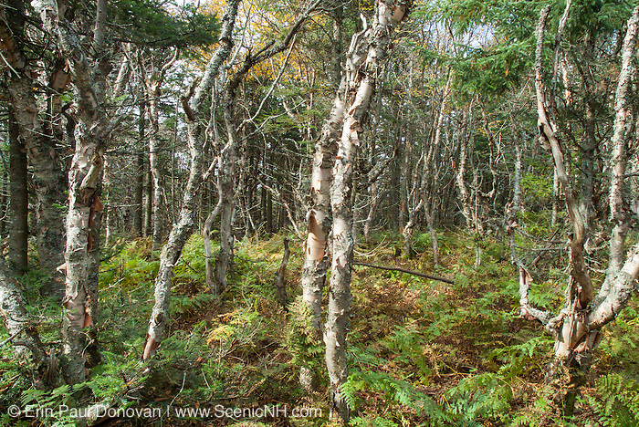 Birch forest on the summit of Unknown Pond Peak in Kilkenny, New Hampshire USA.
