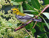 Female black-throated green warbler in fall