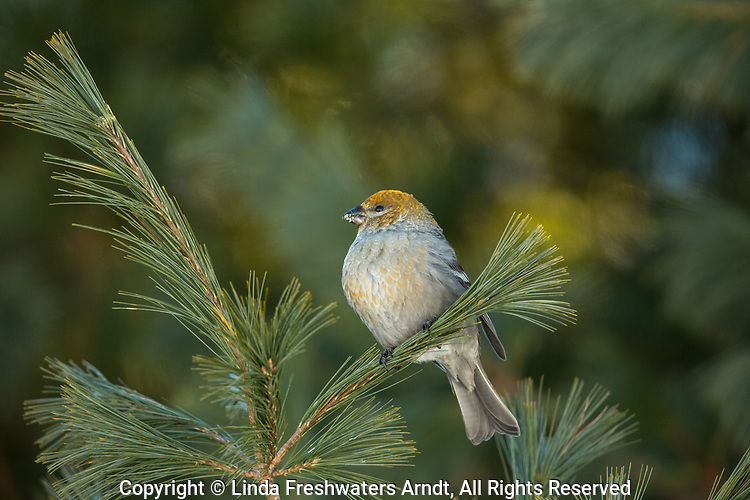 Female pine grosbeak perched in a white pine in northern Wisconsin.