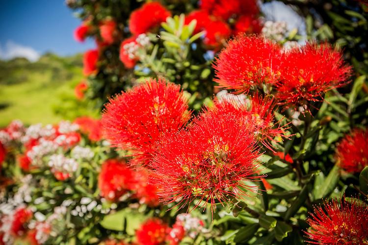 Pohutukawa Blooms, New Zealand - stock photo, canvas, fine art print