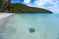 Southern Stingray at Maho Beach<br />