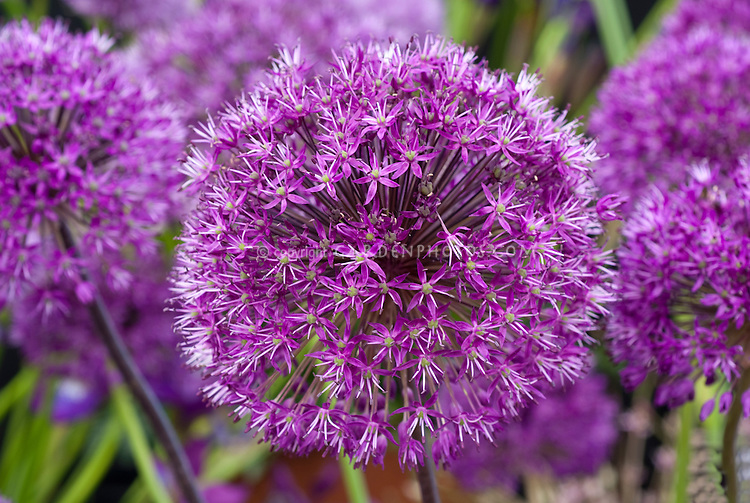 Allium Purple Sensation bulb