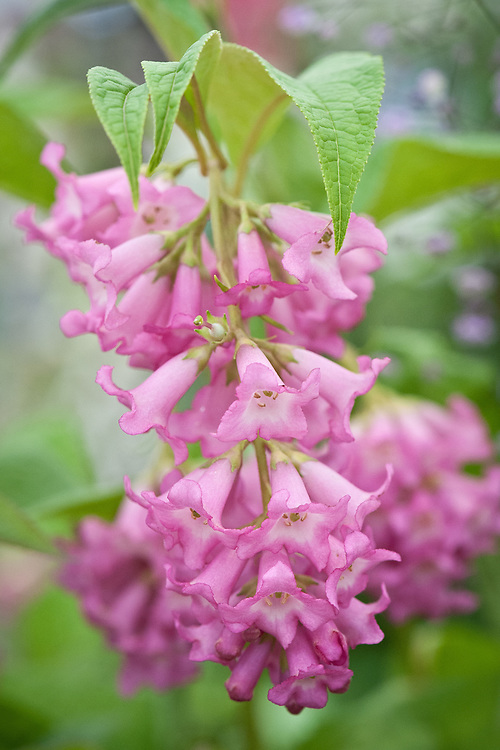 Buddleja colvilei 'Kewensis', early July. A rare Himalayan form of Buddleia with large hanging pink or red flowers from May to August.