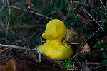 Discarded plastic duck sitting on tree stump beside river Slaney, Wexford. Lots of this stuff gets washed up - and ends up being found by passersby and mounted somewhere conspicious. ..