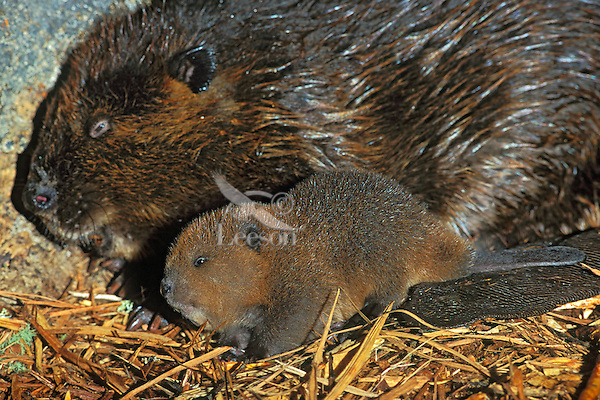 American Beaver (Castor canadensis) mom and kit inside lodge.