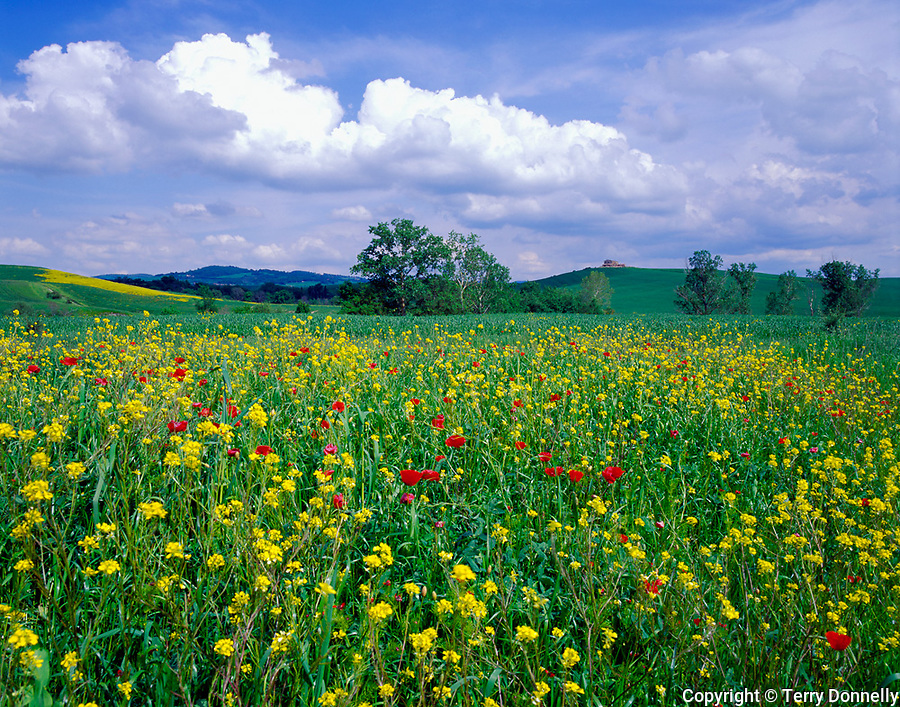 Tuscany, Italy        <br /> Field of mustard and poppies among the rolling hills and farms near Pienza under a bright sky -<br /> in the Val d'Orcia