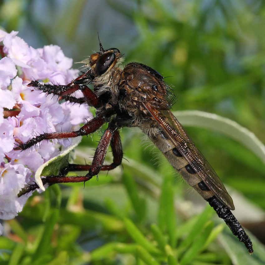 I was watering the garden early this morning when I spotted this Robber Fly stuck in the birdbath water, barely alive. I placed it on our Butterfly Bush..After a time it dried itself out, and went on its way to hunt another day.