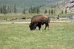WY: Wyoming; Yellowstone National Park.In Midway Geyser Basin,.bison..Photo #: yellow1536.Photo copyright Lee Foster, 510/549-2202, lee@fostertravel.com, www.fostertravel.com..