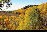 Aspens in Fall Color, Boulder Mountain, Grand Staircase Escalante, Utah