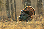 Male eastern wild turkey in the late afternoon light.