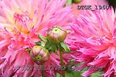 Gisela, FLOWERS, BLUMEN, FLORES, photos+++++,DTGK1960,#f#