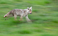 A coyote hunts in the Lamar Valley.