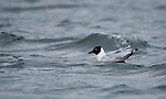 Andean Gull, Larus serranus, swimming on San Pablo Lake, Ecuador
