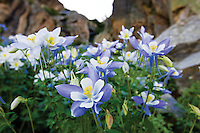 July showers brought August columbine flowers to this hidden basin near Paradise Park in Rocky Mountain National Park, Colorado.