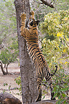 India, Bandhavgarh National Park, 17 months old Bengal tiger cub scratch marking  tree, early morning, dry season