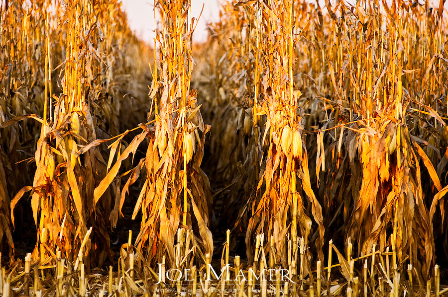 Rows of dry corn plants stand in rows ready for harvest.