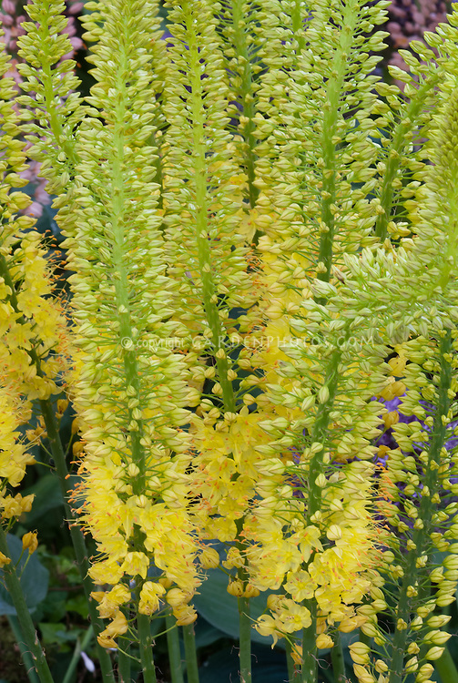 Eremurus image plant flower stock photography gardenphotos eremurus image in yellow flowers tall vertical growing spiky blooms add height and vertical mightylinksfo