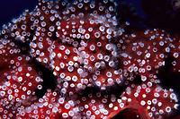 corallimorpharian anemone, Parazoanthus parasiticus, Bonaire, Netherlands Antilles
