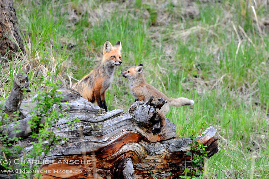 Mother red fox and kit share a log and a tender moment near their den in the Lamar Valley of Yellowstone National Park.