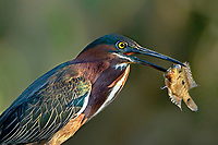 548150049 a wild green heron butorides virescens poses with a captured fish in its beak on a private ranch in the rio grande valley south texas