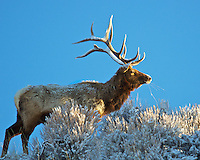 I captured this image of a mature bull that I affectionately named Broken Tine as the first rays of morning light illuminated his antlers following a light snowfall during the night.  I photographed this elk on several occasions during the heavy winter of 2010/2011.  Near Woodland, Utah.  March 2011.