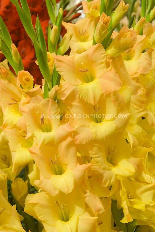 Gladiolus 'Malacca' malaca (gold & peach)