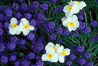 Close up of spring flowers: Grape hyacinth and jonquils blooming in grass, Midwest USA