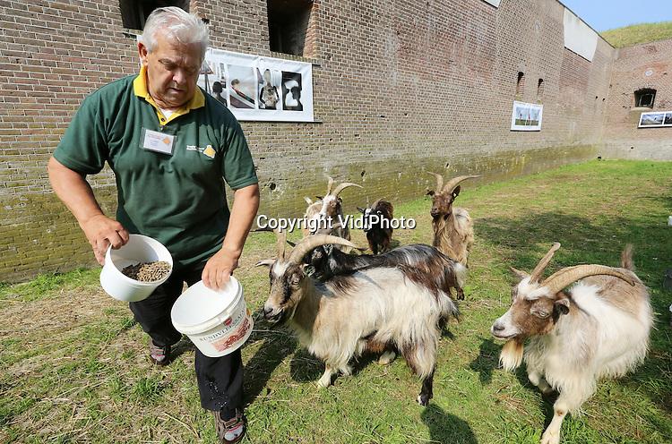Foto: VidiPhoto<br /> <br /> DOORNENBURG - Geiten in plaatsen van grasmaaiers. Wat begon als een gei(n)tje, blijkt een serieuze besparing. De gracht van Fort Pannerden in het Gelderse Doornenburg, onderdeel van de Hollandse Waterlinie, wordt sinds enkele weken kort gehouden door een zestal landgeiten. Een flinke financi&euml;le besparing zo blijkt nu. En daarom wil het bestuur van Fort Pannerden de landgeiten ook op het fort laten grazen, wat jaarlijks een besparing van 7000 euro oplevert. Alleen eigenaar Staatsbesbeheer ligt dwars omdat er drie plantjes groeien die op de rode lijst staan. Hoewel die ook in het 15 ha. grote natuurgebied rond het verdedigingswerk aanwezig zijn, geeft de overheidsorganisatie vooralsnog geen graasvergunning, tot frustratie van de fortbeheerders. Maaien op het fort is namelijk een gevaarlijke klus en kan alleen door een professioneel bedrijf met allerlei veiligheidsmaatregelen uitgevoerd worden. De zeldzame geiten heeft het fort in bruikleen van de landelijke fokkersvereniging voor landgeiten. Aardige bijkomstigheid voor het fort is dat de geiten ook extra publiek trekken. Fort Pannerden kwam enkele jaren geleden in het nieuws doordat er zich krakers vestigden, die na een belegering door de ME werden verwijderd. Foto: Bestuurslid Jo Ubbink geeft de geiten dinsdag wat extra krachtvoer.