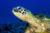 green sea turtle, Chelonia mydas, Kona, Big Island, Hawaii, Pacific Ocean