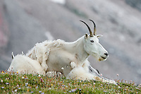 "Mountain Goat (Oreamnos americanus) nanny and kid on edge of alpine meadow in the Beartooth Mountains near the Wyoming/Montana border.  The nanny is shedding her heavy winter coat of fur to a new ""summer weight"" fur coat which will grow long again for the next winter."