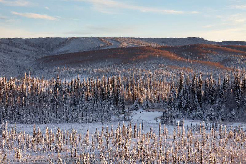 Snow covered spruce trees cover the tundra of interior Alaska.