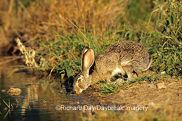 02203-00115 Black-tailed Jack Rabbit (Lepus californicus) drinking at water Starr Co. TX