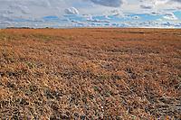 Yellow peas <br /> Morse<br /> Saskatchewan<br /> Canada
