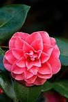 Camellia flower.