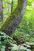 Old Yellow birch on the rocky hillside of Mount Blue in Kinsman Notch of the White Mountains, New Hampshire USA. This area was part of the Gordon Pond Railroad era, which was a logging railroad in operation from 1907-1916. The terrain was so rugged in Kinsman Notch that some sections of it was inaccessible to the 20th century loggers.