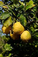 Zitronenbaum, Sizilien, Italien
