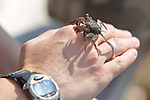 Mangrove Tree Crab On Park Ranger's Wrist