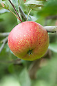 Apple 'Gloucester Cross', mid September. An English dessert apple from Bristol, first bred in 1913.
