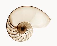 Nautilus shell, chambered sepia