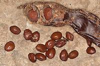 Johannisbrotbaum, Johannis-Brotbaum, Johannis - Brotbaum, reife Frucht und Samen, Karat, Ceratonia siliqua, Carob, St John´s Bread, Caroubier