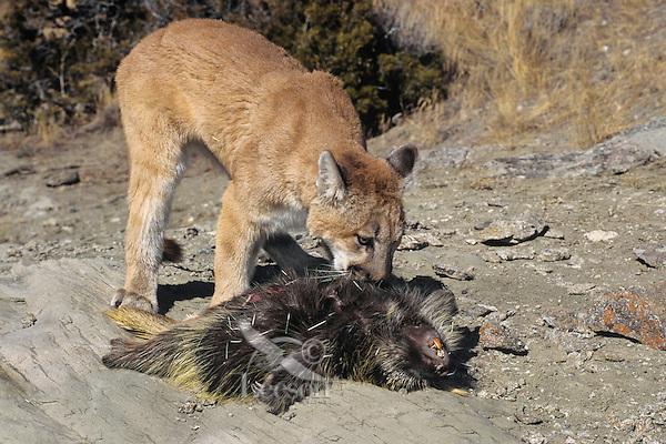 Mountain Lion Puma Concolor Preying On Porcupine