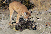 Mountain Lion (Puma concolor) preying on porcupine (Erethizon dorsatum).  Western U.S.