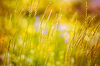 Abstract prairie image of grasses and blurred flowers.