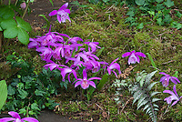 Pleione formosana Orchids Growing in Garden