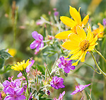Wildflowers grow in Yellowstone in the summer.