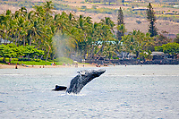 A mother and calf pair of humpback whales, Megaptera novaeangliae. The calf is learning to breach here in the shallows off Baby Beach in Lahaina, on the island of Maui, Hawaii.