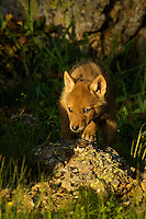 Wild Coyotes (Canis latrans) pup.  Western U.S., June.