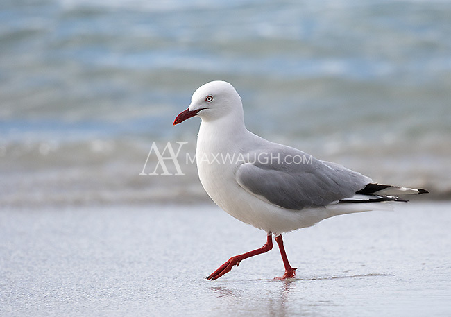 The silver gull is one of the more common gull species in Australia.