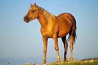 Wild Horse.  Western U.S., summmer..(Equus caballus)