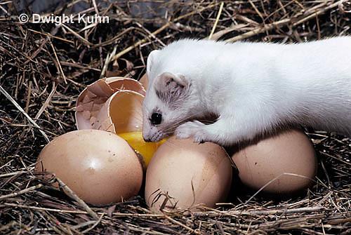 MA09-028x  Short-Tailed Weasel - ermine raiding chicken pen in winter, eating broken egg - Mustela erminea